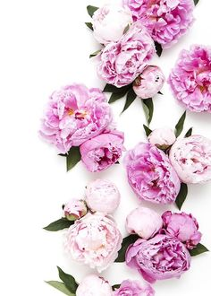 New in the SC Stockshop: Peony Perfection! Photography by Shay Cochrane | Find it in the http://scstockshop.com