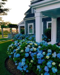 By @kristywicks. It seems only fitting to end my blue-and-white day with my favorite blue hydrangeas in Nantucket at sunset. The contrast between the blue blooms and the white trim & porch of this gray shingle house look stunning! Have a beautiful night! Image via ~ A Nantucket Summer