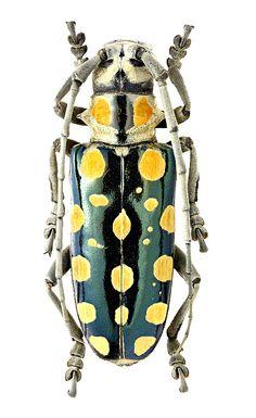 Anoplophora mamaua