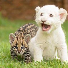 Baby white lion tattles on baby ocelot, No stalking the birdies.