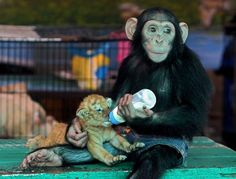 oh you know, just a chimp in jean shorts feeding a baby tiger with a plastic milk bottle. everyday stuff.