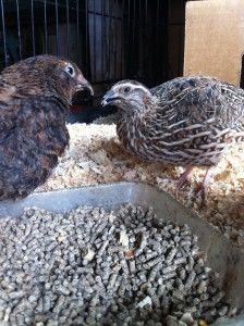 Jen Owens quail facts