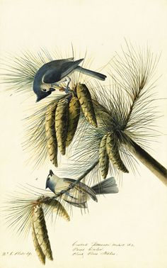 John James Audubon (1785–1851), Tufted Titmouse (Baeolophus bicolor), Study for Havell pl. 39,  1822. Watercolor, graphite, gouache, and black ink with touches of black chalk and glazing on paper, laid on card; 18 5/8 x 11 11/16 in. (47.3 x 29.7 cm). New-York Historical Society, Purchased for the Society by  public subscription from Mrs. John J. Audubon, 1863.17.39