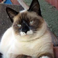 What exactly is a Snowshoe Siamese cat? Are they the same