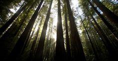 Sequoias no Parque Estadual Humboldt, na Califórnia, EUA. A sequoia…
