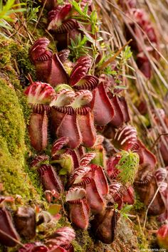 Albany pitcher plant