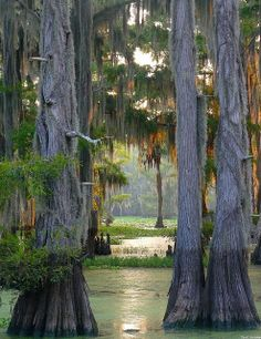Cypress Forest Caddo Lake, LA.