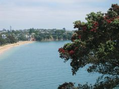 """Cheltenham Beach from North Head, Devonport. This was """"my"""" beach while I lived in Devonport, half a block from my house. Sigh....  The tree in forefront with red flowers is Pohutukawa, New Zealand Christmas Tree. Blooms right around Christmas, bright red. Beautiful. All Blacks, Red Flowers, New Zealand, My House, Bloom, Christmas Tree, Bright, River, Vacation"""