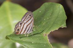 https://flic.kr/p/BfDweL   Euptychia enyo, Nine-eyed Blackeyed-Satyr, 2015 Oct 28, Apuya, Napo, Ecuador, JGlassberg - 4644   Nine-eyed Blackeyed-Satyr, Euptychia enyo, Ecuador butterflies, Sunstreak Tours, Glassberg