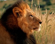 The lion (Panthera leo) is one of the four big cats in the genus Panthera, and a member of the family Felidae. The Lion Sleeps Tonight, Asiatic Lion, Lion Painting, Lion Wallpaper, Lion Pictures, Male Lion, Lion Cub, Mountain Lion, Animals Of The World