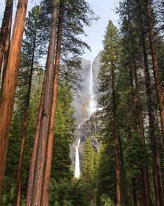 Majestic ponderosa pine trees offer a window to a gorgeous view of Yosemite Falls at Yosemite National Park in California. Cascading more than 2,400 feet above Yosemite Valley, it's one of the tallest waterfalls in North America. Photo courtesy of Tiffany Nguyen.