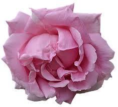 pink flower - Google Search