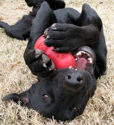 We've talked before about how useful Kong toys can be to provide mental exercise, as well as some ideas on how to stuff them. Here are more ideas on how to get the most out of your dog's Kong toys!... Dog Lovers, Black Labs, Black Labrador, Kong Dog Toys, Pet Toys, Huckleberry, Kong Classic, Doggies, Dogs And Puppies