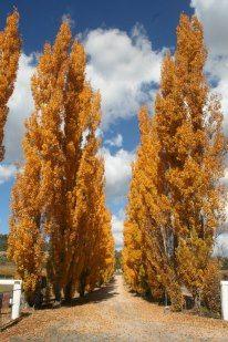 Autumn driveway at Harrington Glen. Pick Your Own Apples, Golden Leaves, Golden Oak, Sunshine Coast, Granite, Vineyard, Autumn, Artists, Belt