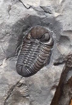 Phacops Trilobite Fossil From New York State