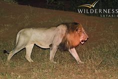 'Nkanu' – the dominant male lion of the area.