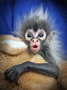 A seven-week old baby spider monkey from Melbourne zoo in Australia - Pixdaus