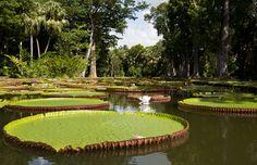 Riesige #Amazonaslilie im botanischen #Garten Pamplemousse #Mauritius Mauritius, Paradise Island, Stepping Stones, Golf Courses, Outdoor Decor, Islands, Home, Amazons, Seychelles