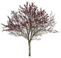 Prunus cerasifera var pissardii Cherry plum tree 4451 x 4258 pixels. Tree cutout PNG image, with transparent background. 48 MB file ready to download. Commonly used in gardens and parks in North America and Europe, the cherry plum tree is a small deciduous tree up to 12 m height.