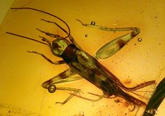 Just published: A new fossil cricket of the genus Proanaxipha in Miocene amber from the Dominican Republic
