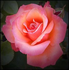 Beautiful Rose Flowers, Pretty Roses, Love Rose, Flowers Nature, Amazing Flowers, Lavender Roses, Pink Roses, Pink Flowers, Rose Pictures