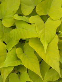 Sidekick Lime Ipomoea - Sweet Potato Vine