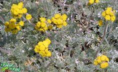 Black Wormwood or Black Mugwort Seeds (ARTEMISIA genipi ) Medicinal plant ,tea herb ,culinary herb , rock garden