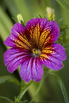 """Salpiglossis or """"Painted Tongue"""" Unusual Flowers, Wonderful Flowers, Rare Flowers, Flowers Nature, Purple Flowers, Beautiful Flowers, Lilies Flowers, Blossom Garden, Flower Pictures"""