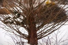 Dawn Redwood's mahogany bark stands out against the snowy background in A Garden For All by Kathy Diemer http://agardenforall.com