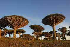 Isolated Socotra, 220 miles from mainland Yemen, is home to a panoply of strange plants and animals uniquely adapted to the hot, harsh, windswept island. Dragon Blood Tree, Dragon Tree, Socotra, Strange Places, Galapagos Islands, What A Wonderful World, Natural Wonders, Mother Nature, Beautiful Places