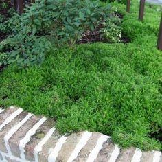 Wintergroene  groenblijvende bodembedekkers  Modeltuinen