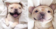 "Meet Milo, A Narcoleptic Bulldog Who Will Make You Say ""Awww""   Bored Panda"