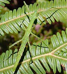 Spinotectarchus acornutus is a species of stick insect endemic to New Zealand. It belongs to the family Diapheromeridae, and is the only member of the genus It is commonly referred to as the spiny ridge-backed stick insect. Flora And Fauna, Bugs, Cabbage, Insects, Plant Leaves, Plants, Beetles, Cabbages, Plant