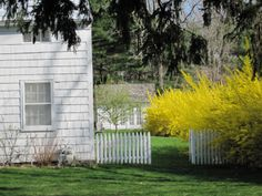White fence and forsythia..beautiful