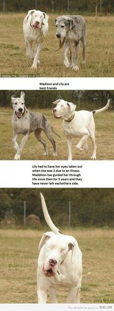 This brought little happy tears to my eyes, Great Danes are amazying dogs!!!!!    ....The white dog, Lily, had to have her eyes taken out when she was 2 years old due to an illness. The other dog, Maddison, has guided her around for the past 5 years, never leaving her side. This is a true friend.