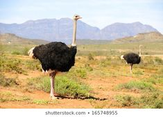 Yeakub: In a fertile valley Oudtshoorn is the largest town on the [& Tanzania, Kenya, Time To Leave, Ostriches, Game Reserve, Throughout The World, Fertility, South Africa, Scenery