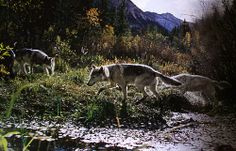 Gray wolves (Canis lupus) by Jim and Jamie Dutcher