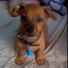 I want a chiweenie puppy !