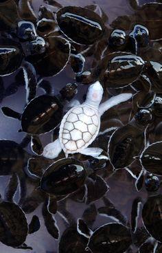 Baby albino sea turtle
