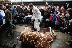 Marius, baby giraffe killed on 9feb2014, in Copenhagen Zoo. Chopped in front of a lot of children and then throwed to the lions!! PLEASE DONT TAKE YOUR KIDS TO ANY ZOO !!! Read on internet about Marius
