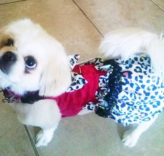 Dog Harness Dog Clothes walk your Pekingese, Pomeranian, CKC Spaniel, Yorkie, Chihuahua. Custom made to your pup's measurements.