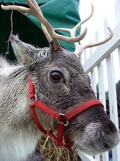 """'Bah Humbug'  """"Okay, it's not a hat, but its red and I'm a reindeer - so?"""""""