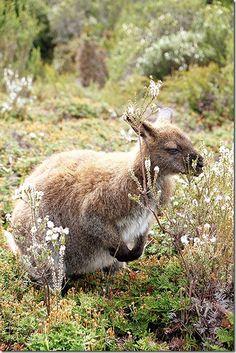 Cradle Mountain, Enchanted Walk Wildlife in Tasmania, Australia l Read more… Australia Living, Western Australia, Australia Travel Guide, Australia Trip, Travel Oz, Tasmania Travel, New Zealand Travel Guide, Bird People, Kangaroo Island