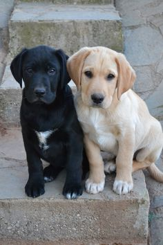 aren't they cute ??? #labradorretriever