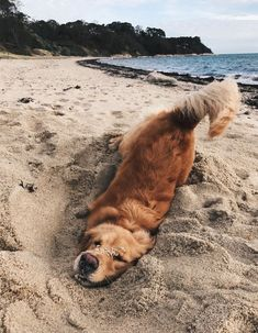 Everyone loves a Golden Retriever! They are beautiful, loving and exuberant dog breeds. if you love them, here are some fun Golden Retrievers facts that celebrates these pups. Cute Baby Animals, Animals And Pets, Funny Animals, Wild Animals, Happy Animals, Funny Cats, Golden Retriever Mix, Funny Golden Retrievers, Retriever Puppy