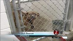 C.A.R.E. Signs with Springfield; Set to Rescue Pit Bulls - OzarksFirst.com