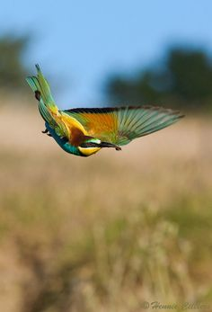 """Food for the Kids"" by Hennie Cilliers; European Bee-eater taken in Durbanville, South Africa"