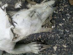 In August 2011 an unidentified animal corpse was discovered by a road in Douglas County, Minnesota. It had five claws on each paw, tufts of black hair and canine characteristics. However its ears were 'humanlike' as described by one onlooker and although a hairless wild dog was suggested, the back legs were entirely to short and bowed. Theories were put forward of it being a mythical chupacabra, to government animal testing, to a domestic dog.