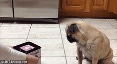 Pug in a box… (gif)