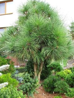 Pinus jeffreyi 'Joppi'